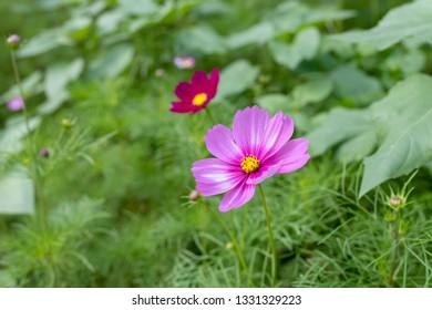 magic magenta flower of cosmos