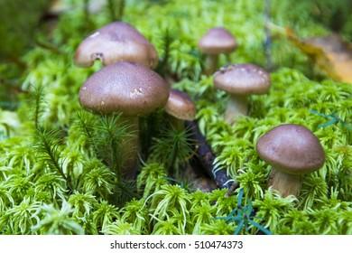 Magic mushrooms - Deadly webcap (Cortinarius rubellus)