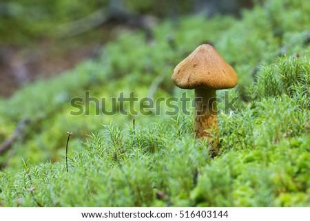 2ea1f61c480 Magic Mushrooms Deadly Webcap Cortinarius Rubellus Stock Photo (Edit ...