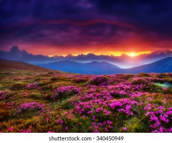 Magic pink rhododendron flowers glowing by sunlight. Dark overcast sky in the morning. Dramatic and picturesque scene, Location Georgia. Europe. Beauty world. Creative collage. Soft filtered effect.