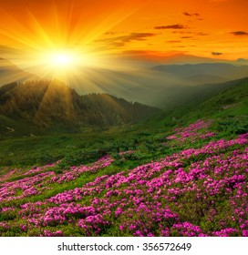 Magic pink rhododendron flowers in the mountains, flowering valley, Location Carpathian, Chornogora ridge,Ukraine, Europe.
