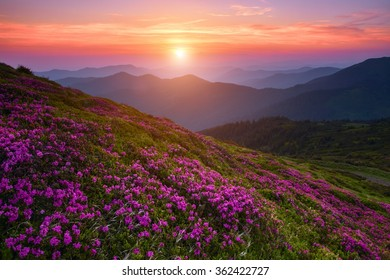 magic pink rhododendron flowers in the mountains, Marmarosy ridge (located on the axis of the border between Romania and Ukraine) , Carpathian mountains, Ukraine, Europe, summer, Ukraine, Europe.