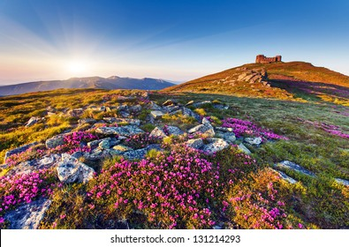 Magic pink rhododendron flowers on summer mountain.Carpathian, Ukraine, Europe. Beauty world.