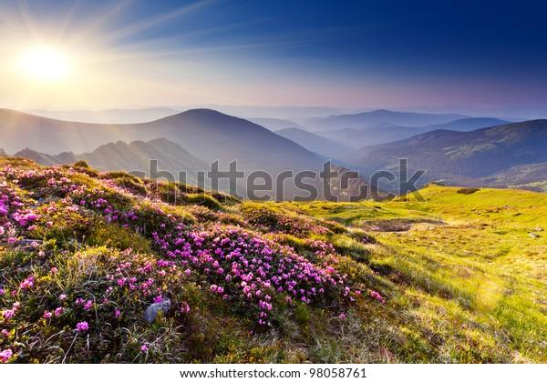 Magisch rosafarbene Rhododendren auf dem Sommerberg