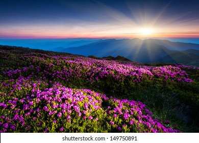 Magic pink rhododendron flowers under the dark blue sky. Majestic Carpathian, Ukraine, Europe. Beauty world.