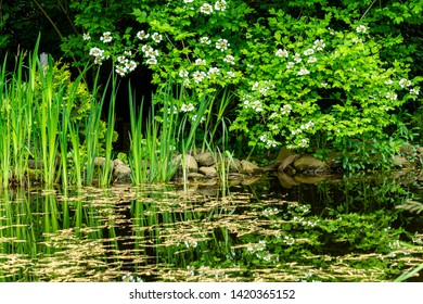 Magic pond resembles forest lake in wild. Close-up. Oak earrings are floating on water surface of pond. Shore of pond with large stones, with blooming white flowers of viburnum leaning toward water.