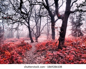 magic Red forest in fog