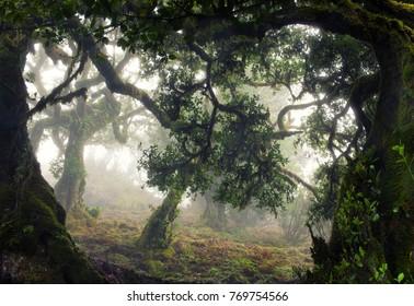 Magic tropical forest in fog,Madeira Island,Portugal