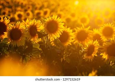 Magic warm light of the sun in the sun flower field - summer