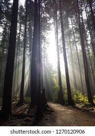 magical crepuscular rays (god rays or sunbeams) through trees in the morning at Pacific Spirit Regional Park, Vancouver, BC.