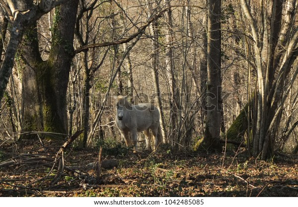 Magical encounter with a white horse between the trees of a winter forest in the South of France, Ariege, Pyrenees