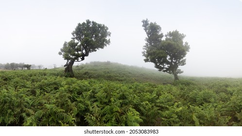 Magical endemic laurel trees in Fanal laurisilva forest in Madeira, World Heritage Site by UNESCO in Portugal. Beautiful green summer woods with thick fog Rainforest in rainy day. Solitary trees. - Shutterstock ID 2053083983