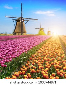 Magical fairy fascinating landscape with flowers tulip field in Holland, Europe at sunlight (meditation, anti-stress, Harmony - concept)