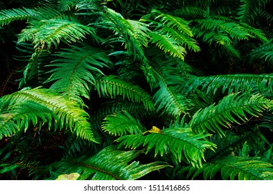 Magical fairy forest scenes with light rays and beautiful sunsets of Howe Sound and Mt. Gardner on Bowen Island with lush ferns and dark shadows.  Close to Vancouver BC Canada.