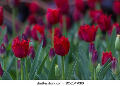 Magical field of deep red fringed tulips on a spring day.