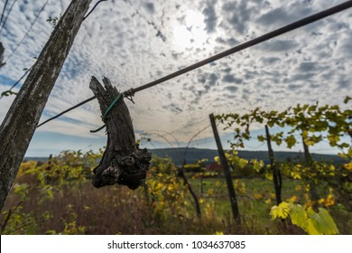 Magical grape fishes on the hillside vineyards. Abandoned vineyard with clouds and wonderful panorama on lake.