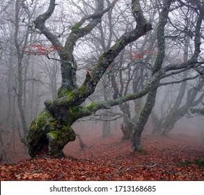 Magical landscape of a beech forest in late autumn with morning fog. Beautiful fall forest scenery with red leafs in a natural environment in the mountains of Leon, Spain, Europe.
