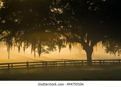 Magical misty morning fog with backlit live oak trees in pasture field with Spanish moss