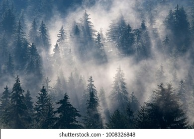 Magical misty spruce forest. Fog and morning light have created a magical look.