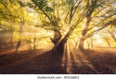 Magical old tree with sun rays in the morning. Forest in fog. Colorful landscape with foggy forest, gold sunlight, green leaves at beautiful sunrise. Fairy forest in autumn. Fall woods. Enchanted tree