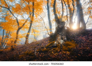 Magical old tree with sun rays in the morning. Amazing forest in fog. Colorful landscape with foggy forest, gold sunlight, orange foliage at sunrise. Fairy forest in autumn. Fall woods. Enchanted tree
