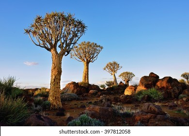 Magical Quiver Tree Forest outside of Keetmanshoop, Namibia at sunset. Warm evening light