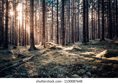 Magical sunshine in a pine forest