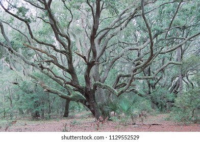 Magical tree in the inner most heart of Cumberland Island, the southern-most barrier island off the coast of Georgia, USA.