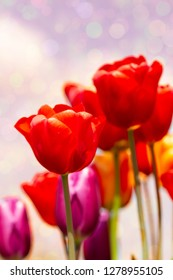 Magical tulips in front of a bokeh background