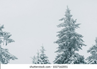 Magical winter forest during snowfall. Trees covered in snow.