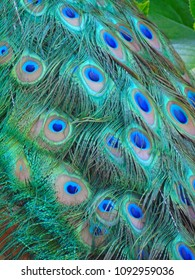 The magnanimous feathers and poses of a peacock
