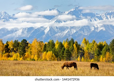 Magnificent autumn landscape with grazing horses in the foothill valley on the background of yellowed forest and snowy mountain peaks with low clouds. Siberia, Eastern Sayan, Buryatia, Tunka, Arshan