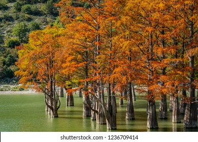 The magnificent autumn red and orange needles of the group of cypresses Taxodium distichum on the lake in Sukko near the city of Anapa. Once a year the lake becomes magical. Nature concept for design
