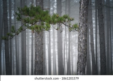 magnificent beautiful pine forest in fog stunning landscape