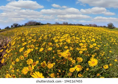 Magnificent blooming spring. Spring bloom of the Negev Desert in Israel. Field of blooming daisies in the bright southern sun. Blue sky and light clouds