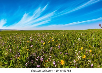 Magnificent blooming spring. Spring bloom of the Negev Desert in Israel. Fields of flowers in the bright southern sun. Blue sky and light clouds.