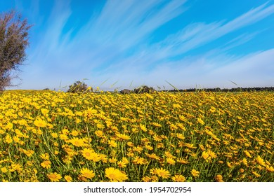 Magnificent blooming spring. Spring bloom of the Negev Desert. Israel. Blue sky and light clouds. Field of blooming daisies in the bright southern sun.