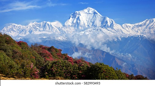 Magnificent blossoms rhododendrons on a background of white peaks in the Himalayas