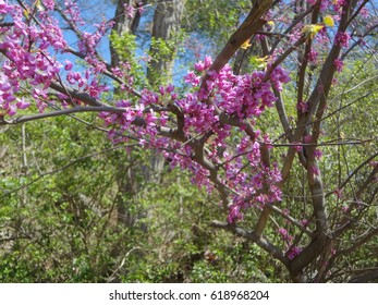 Magnificent Boxwood tree in spring, sprouting breathtaking purple blossoms.