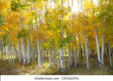 Magnificent bright colored aspen trees with a sunburst in the autumn.