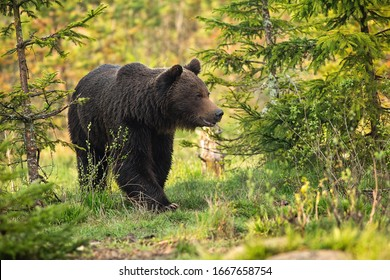 Magnificent brown bear, ursus arctos, male going between trees on meadow. Majestic animal wildlife in spring from low angle. Mammal walking in nature at sunrise.