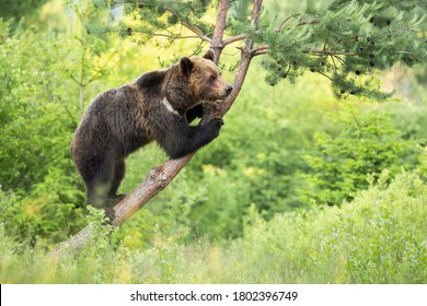 Magnificent brown bear, ursus arctos, standing on tree in forest. Vital brown animal climbing on branch in wilderness. Wild mammal observing on bough.