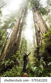 Magnificent California Redwood Forest. Hiker and the Trees.