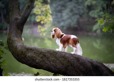 Magnificent cavalier king Charles Spaniel on a tree trunk on a lake background