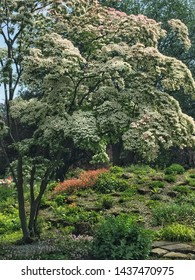 The magnificent Chinese Dogwood tree - or Cornus Kousa - covered in white flowers in midsummer in Valley Gardens Harrogate