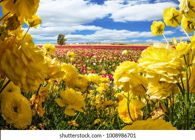 Magnificent field of flowering colorful buttercups. Lush clouds fly over the fields. The picture is made by the fisheye lens. Concept of ecological and rural tourism