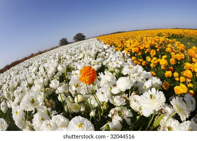 """Magnificent field of orange and white buttercups on a sunset, photographed by an objective """" the Fish eye """""""