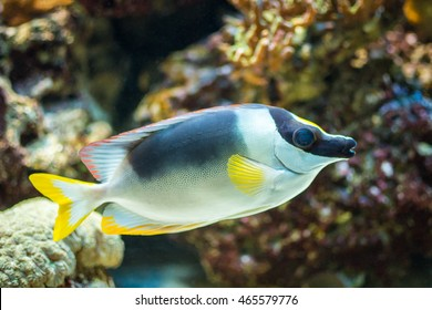 Magnificent Foxface fish, also known as the Magnificent Rabbitfish, Andaman Foxface, or the Red Fin Foxface