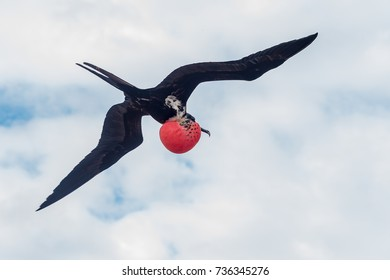 Magnificent frigate bird in flight, Galapagos Islands. The inflated red throat pouch is used to attract the female
