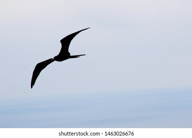 A magnificent frigate bird,Fregata magnificens, flying over the ocean